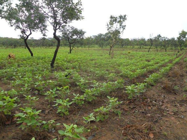 Concluso il progetto agricolo in costa d 39 avorio time for for Progetti di piantagione